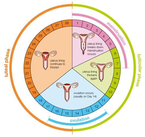 Menstrual Cycle besides Hormones My New Nemesis furthermore Stock Photo Brain Image12972630 in addition 13d7c8ac furthermore 8978714. on endocrine female cycle